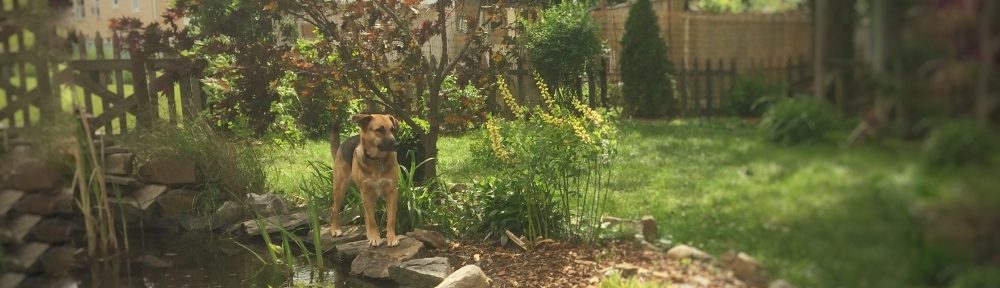 Ziva the dog stands by a fishpond