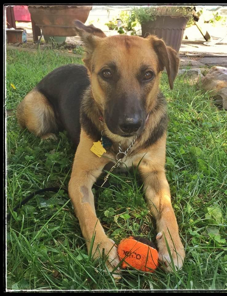 Ziva lies in the grass with an orange tennis ball between her front legs