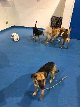 Ziva stands in teh doggie daycare room, with other dogs in the background