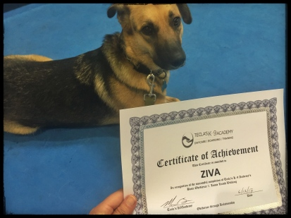 Ziva lying down behind her Obedience certificate