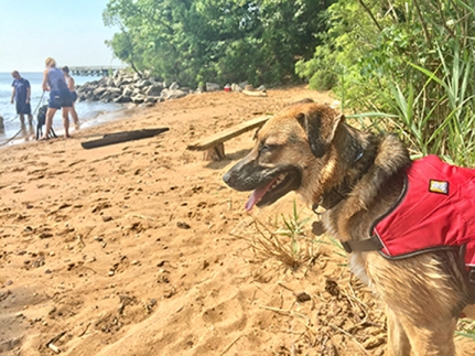 Ziva stands on the beach as other dogs are in the background