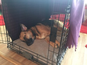Ziva lies sleeping in her crate