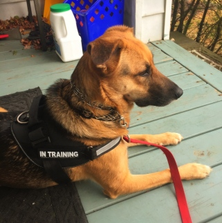 Ziva wearing her new In Training harness